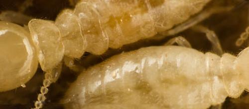 Termites love Asia !