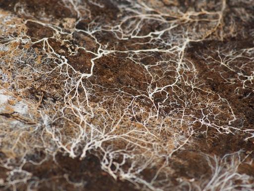 mycelium2