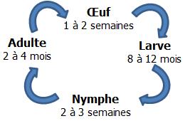 cycle-vie-lyctus