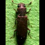 lyctus-insecte-parfait
