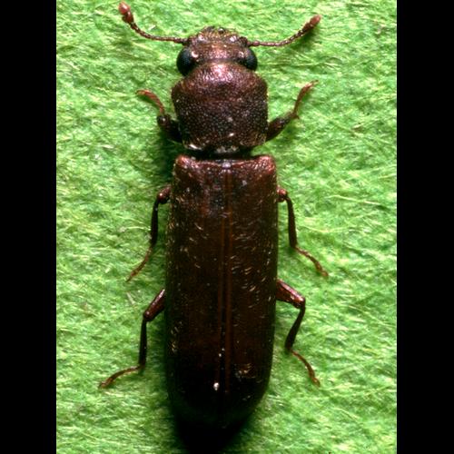 Familles d'insectes xylophages : le Lyctus, un amateur de bois feuillus