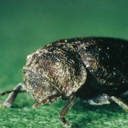 Familles d'insectes xylophages : la Vrillette, l'horloge des bois
